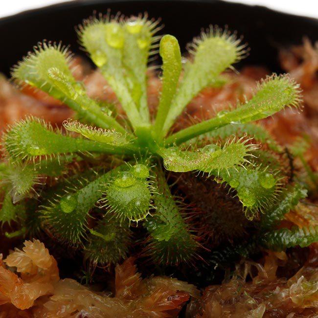 New arrival plants and FORESTA | 新掲載植物 可愛いシダやネペンテスなどなどとフォレスタに関して_d0376039_18302462.jpg