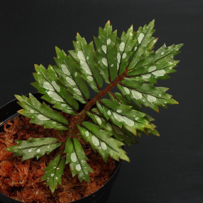 New arrival plants and FORESTA | 新掲載植物 可愛いシダやネペンテスなどなどとフォレスタに関して_d0376039_18325800.jpg