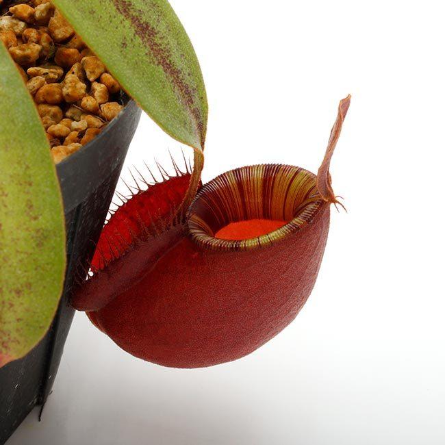 New arrival plants and FORESTA | 新掲載植物 可愛いシダやネペンテスなどなどとフォレスタに関して_d0376039_18555281.jpg