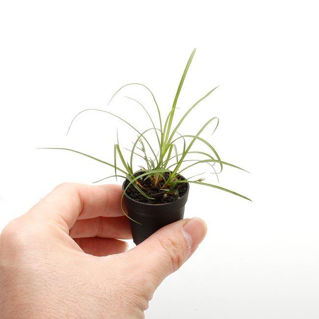 New arrival plants and FORESTA | 新掲載植物 可愛いシダやネペンテスなどなどとフォレスタに関して_d0376039_19085798.jpg