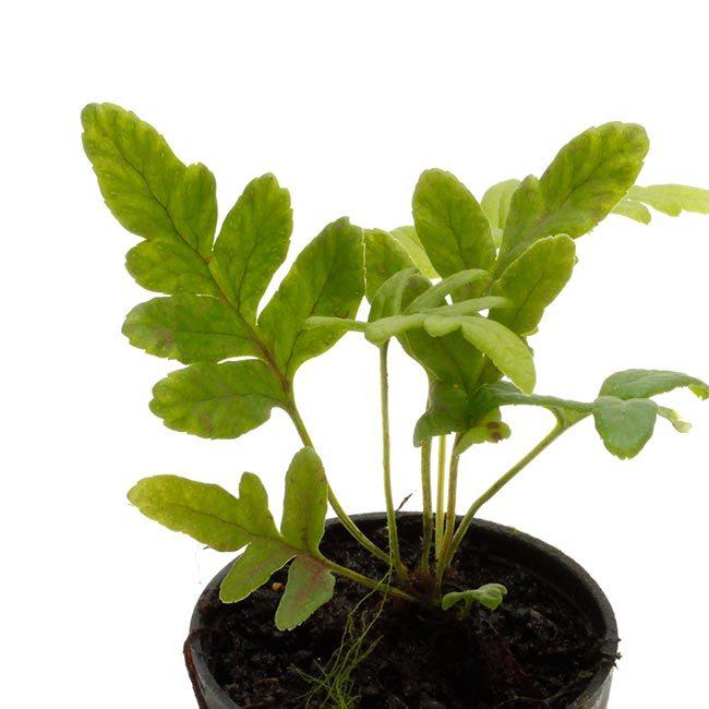 New arrival plants and FORESTA | 新掲載植物 可愛いシダやネペンテスなどなどとフォレスタに関して_d0376039_19104686.jpg