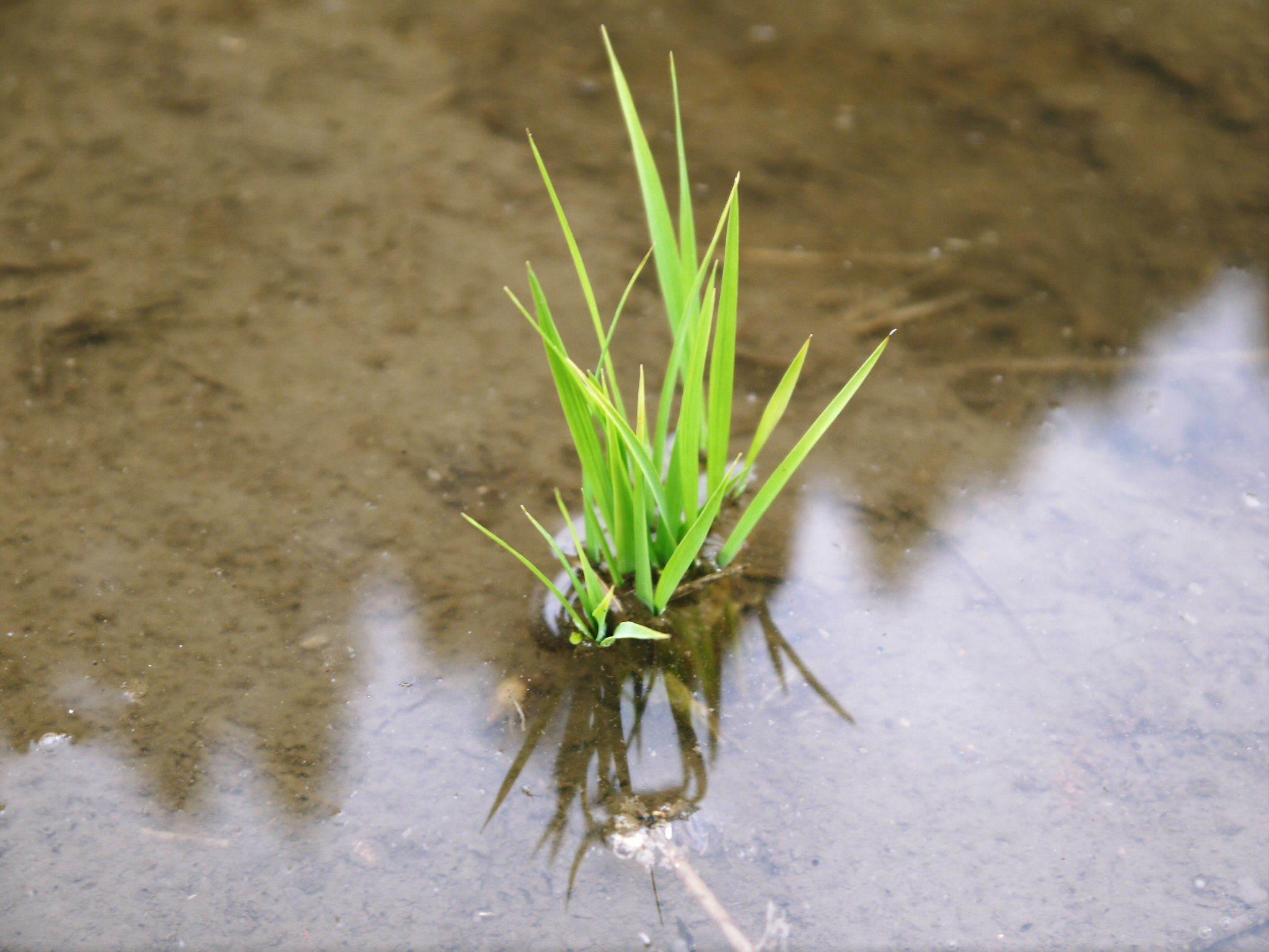 米作りの挑戦(2020) 田植え 今年は昨年よりもさらに10日早い田植えです!(後編)_a0254656_17295124.jpg