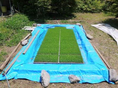 米作りの挑戦(2020) 田植え 今年は昨年よりもさらに10日早い田植えです!(後編)_a0254656_18030570.jpg
