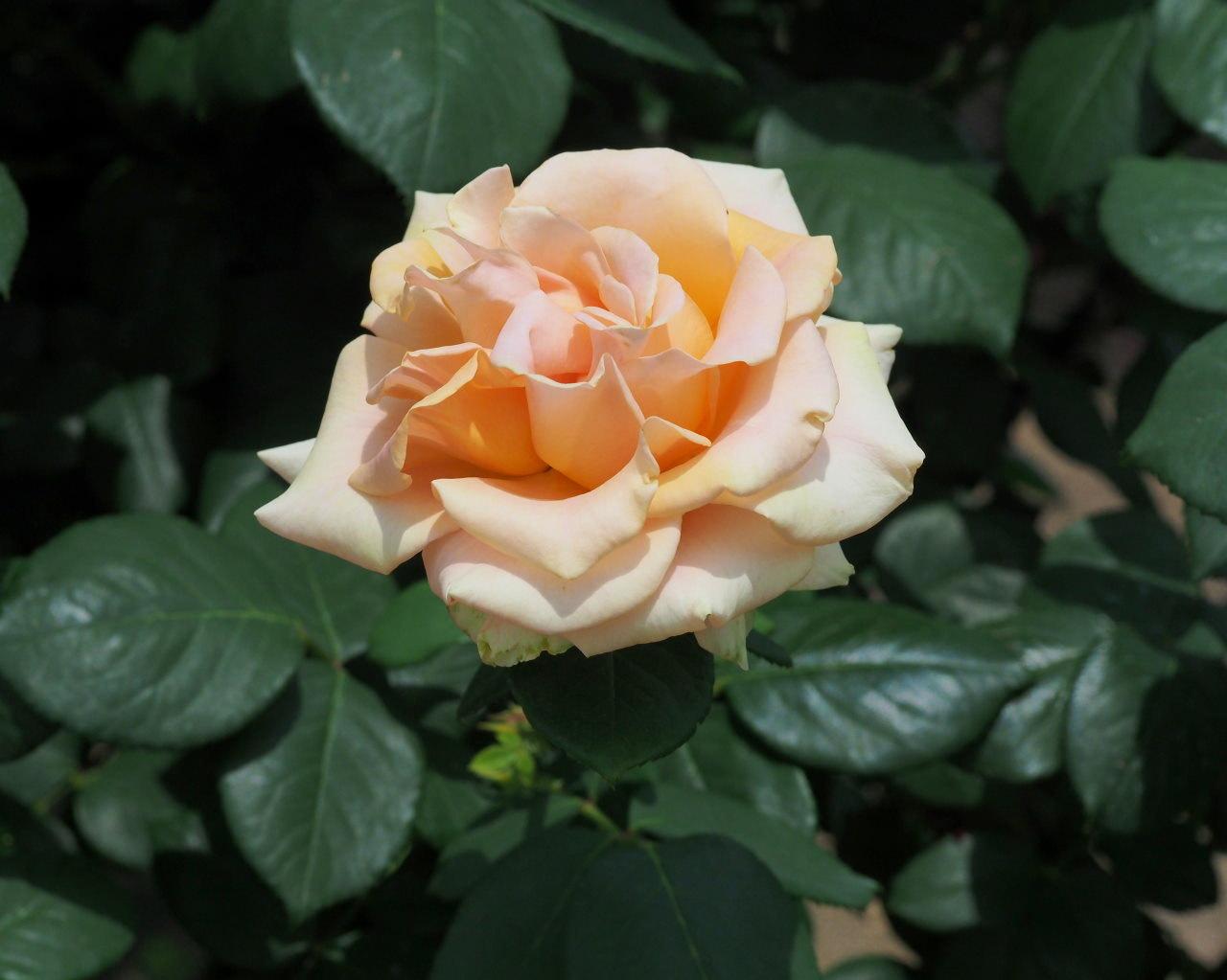 バラ園で残り花_c0305565_17235525.jpg