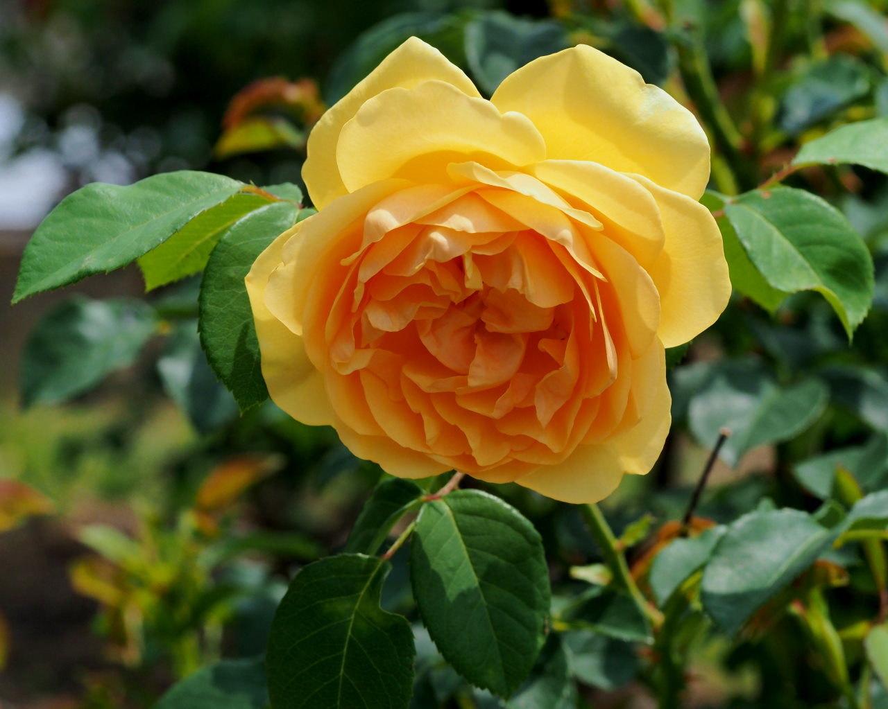 バラ園で残り花_c0305565_17241188.jpg