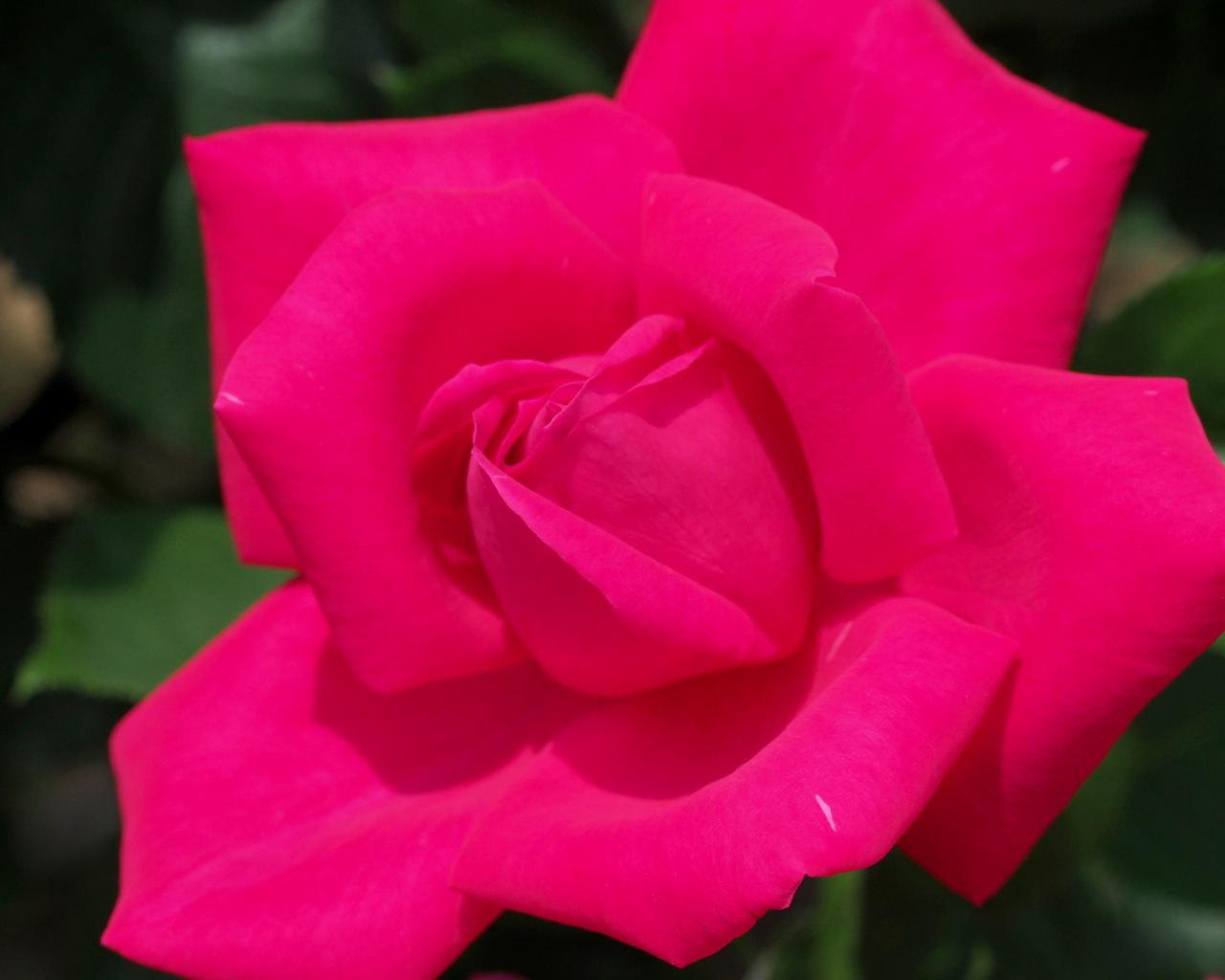 バラ園で残り花_c0305565_17242683.jpg