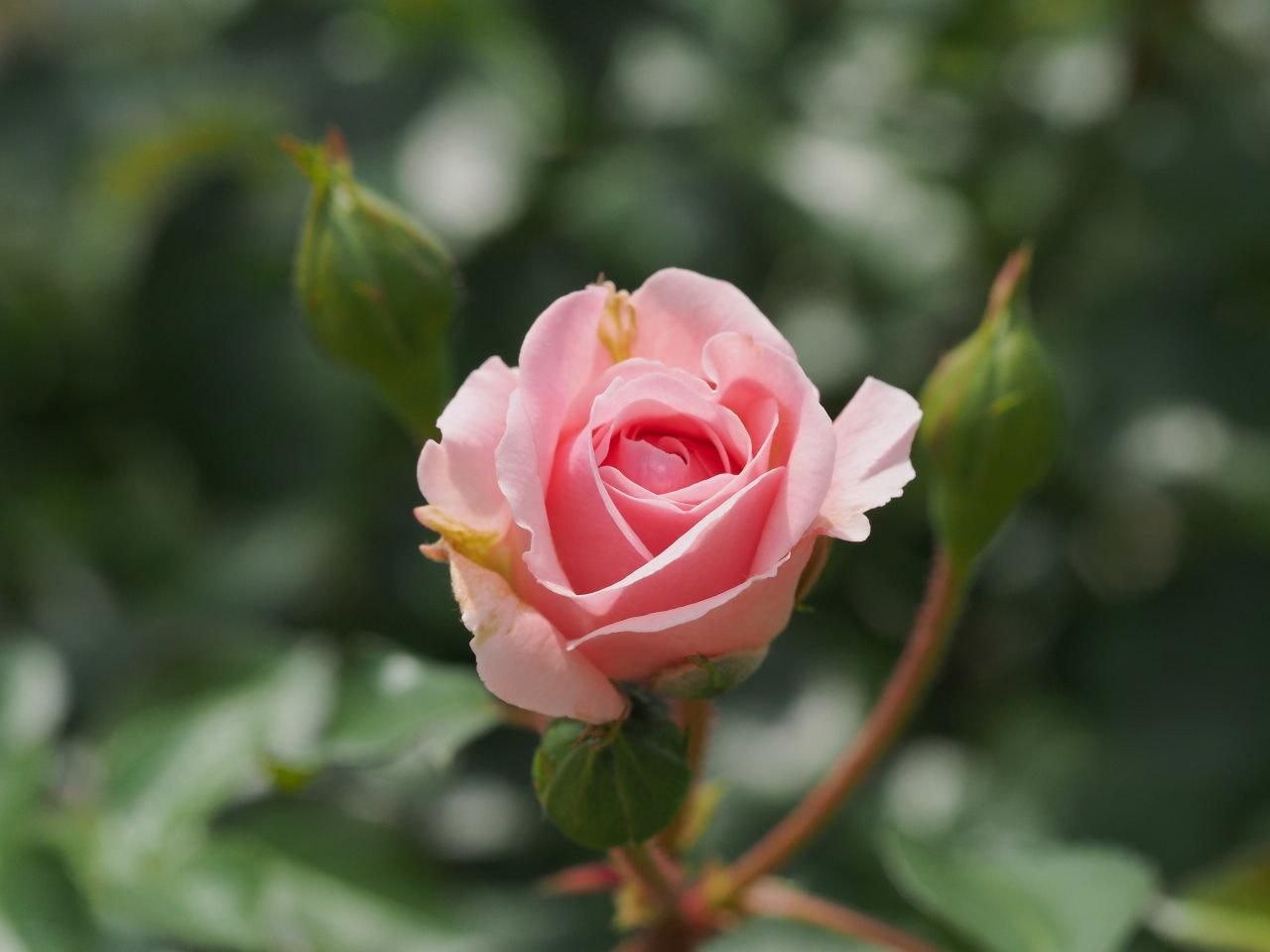 バラ園で残り花_c0305565_17244003.jpg