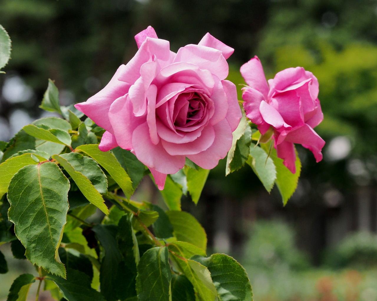 バラ園で残り花_c0305565_17245434.jpg