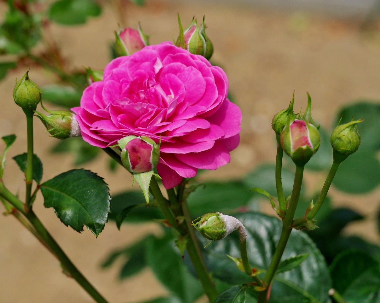 バラ園で残り花_c0305565_17253653.jpg