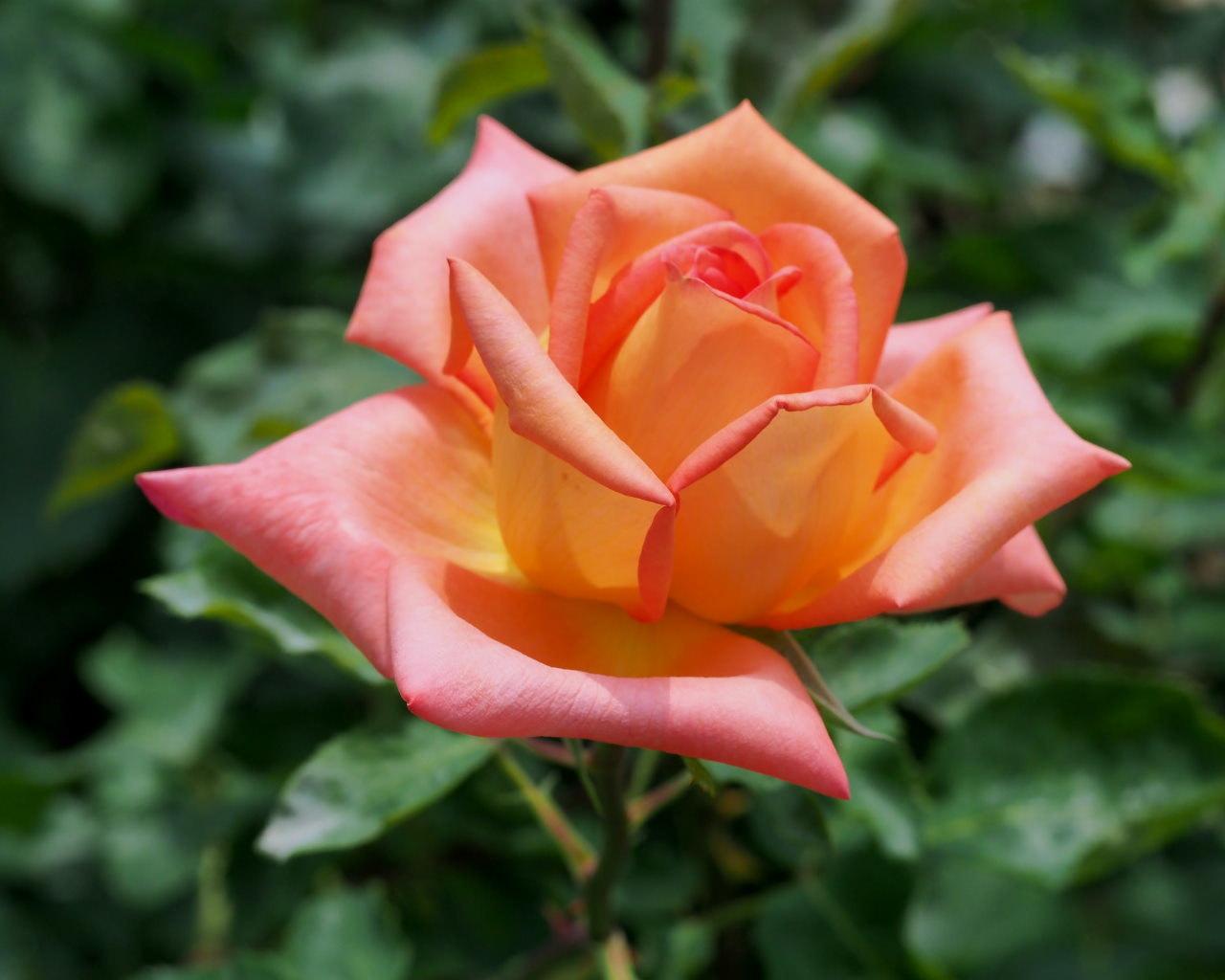 バラ園で残り花_c0305565_17254911.jpg