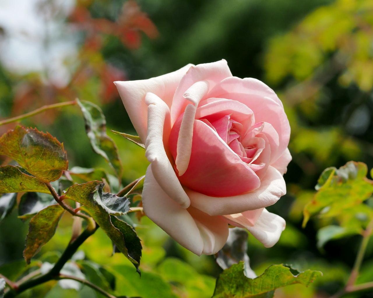 バラ園で残り花_c0305565_17260349.jpg