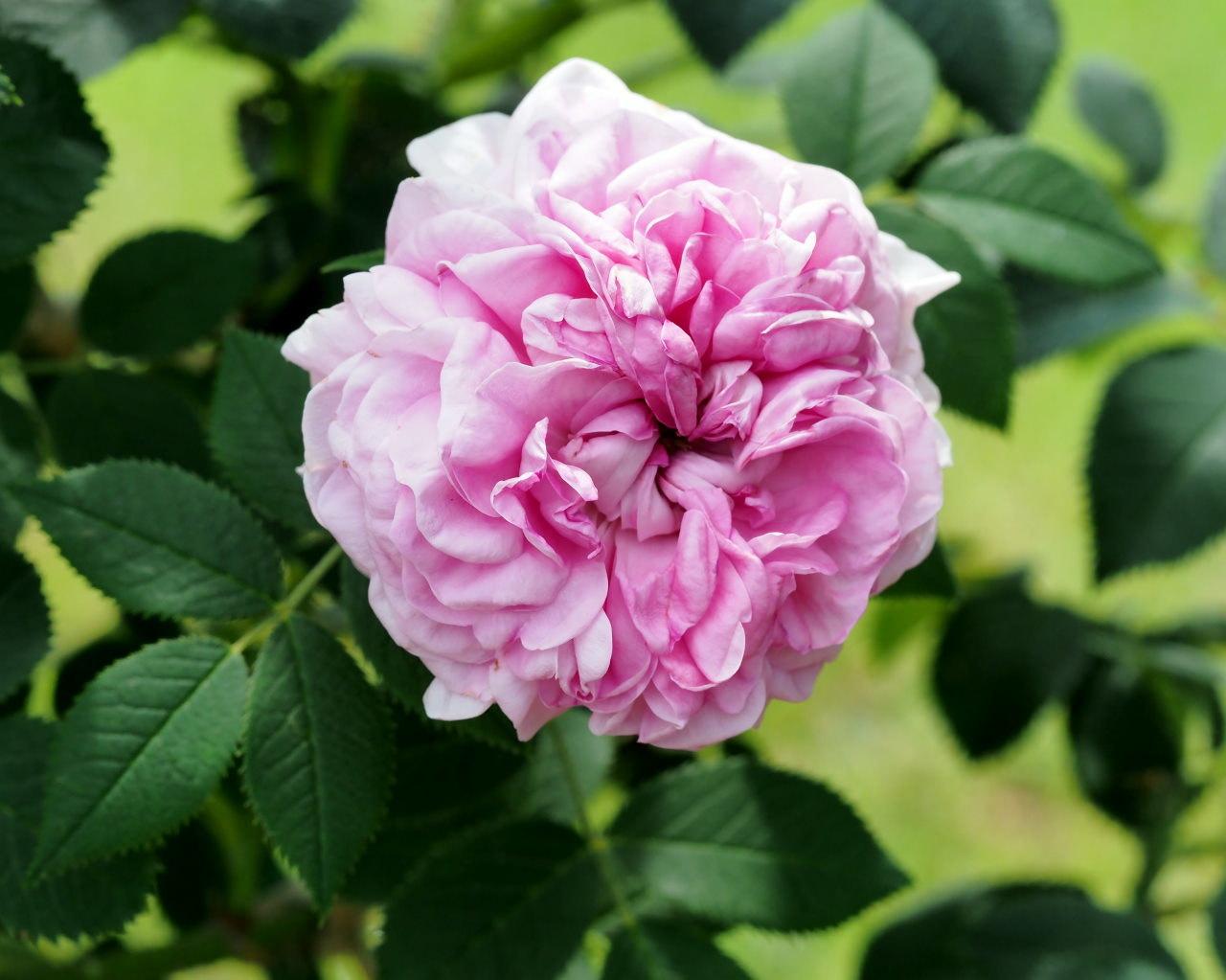 バラ園で残り花_c0305565_17271081.jpg