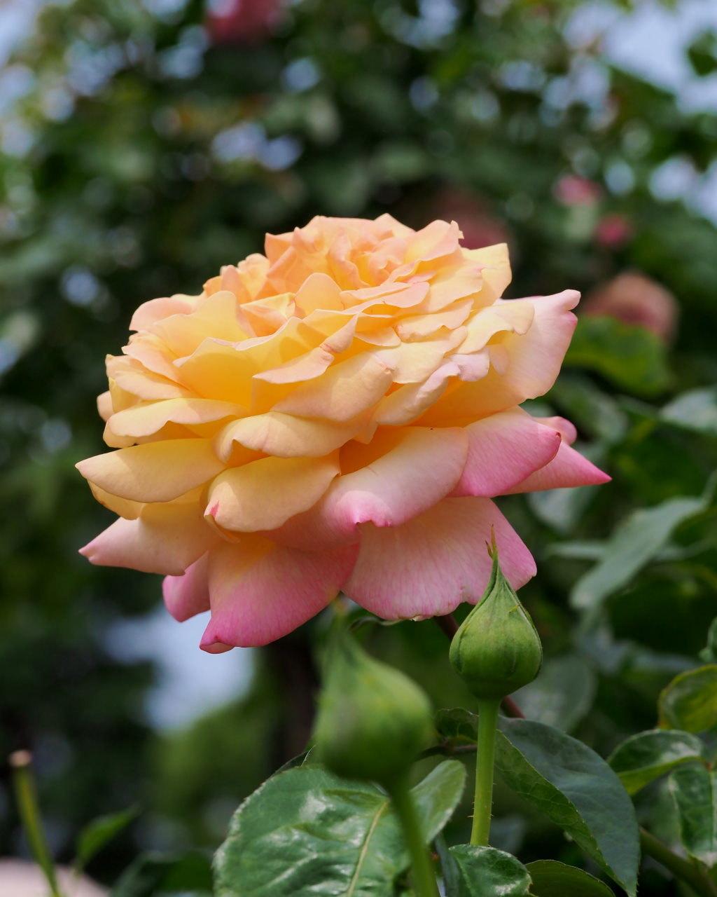 バラ園で残り花_c0305565_17291286.jpg