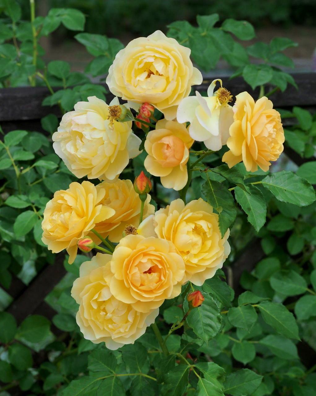 バラ園で残り花_c0305565_17295769.jpg
