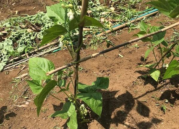里芋、インゲン、トウモロコシ、オクラに追肥6・3_c0014967_06263655.jpg