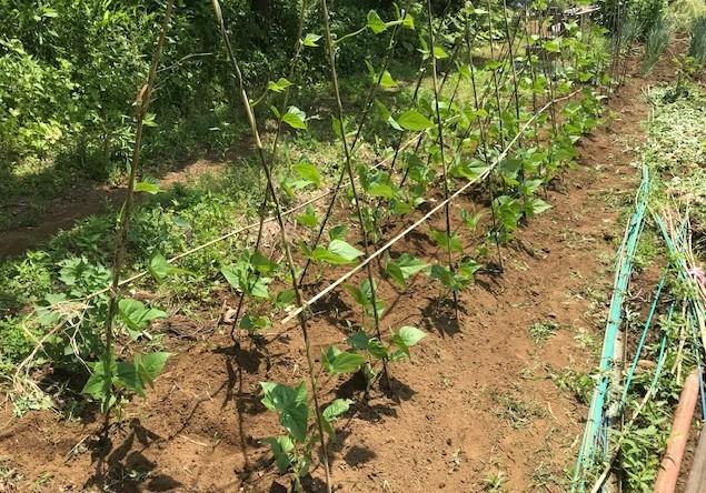 里芋、インゲン、トウモロコシ、オクラに追肥6・3_c0014967_06264934.jpg