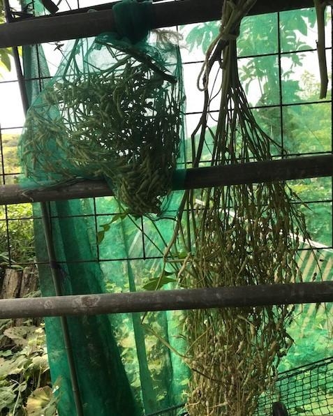 さやが黄色くなった鎌倉大根の種採取6・3_c0014967_16310182.jpg