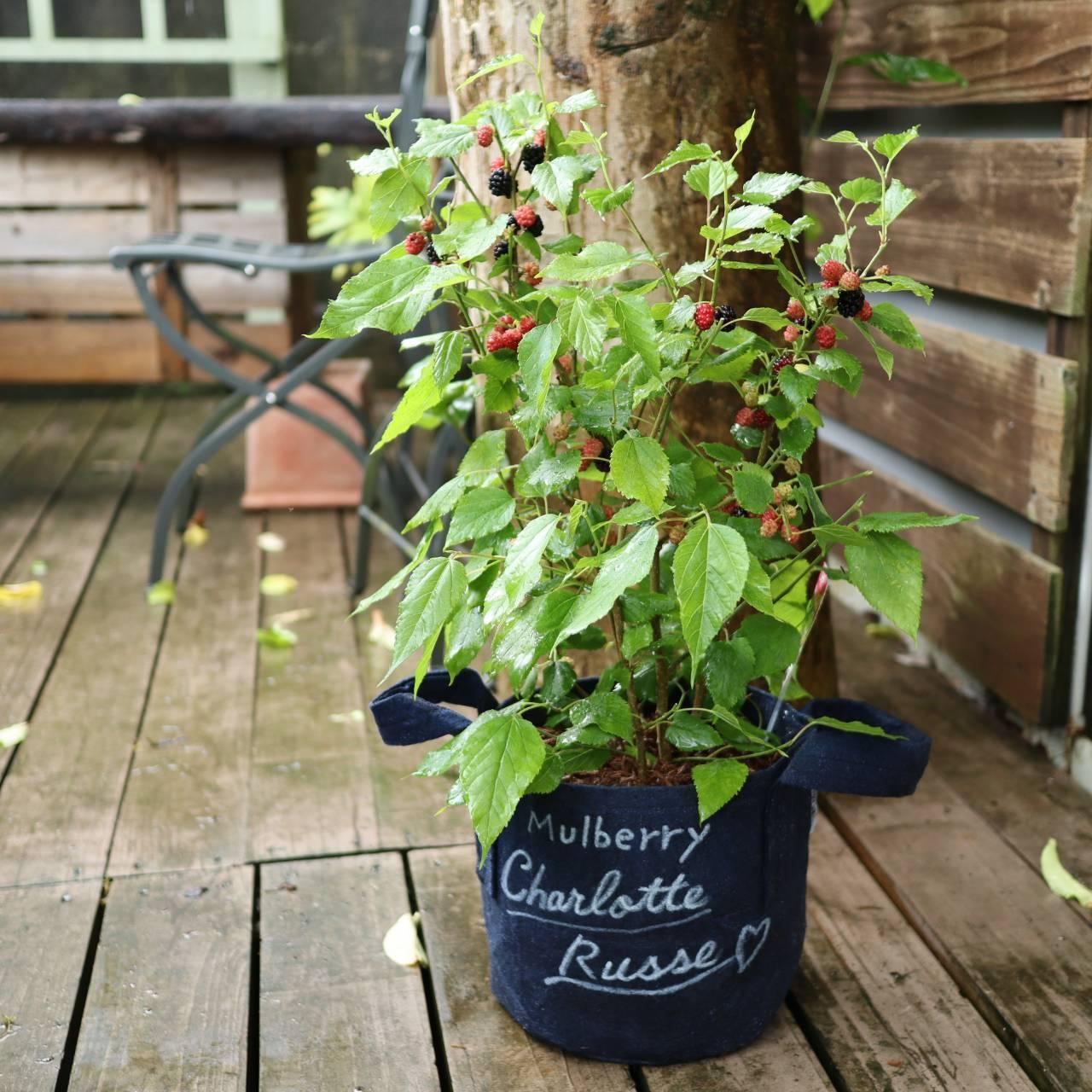 大木にならず優秀な品種  マルベリー「シャルロット・リュス」_b0137969_23410318.jpeg