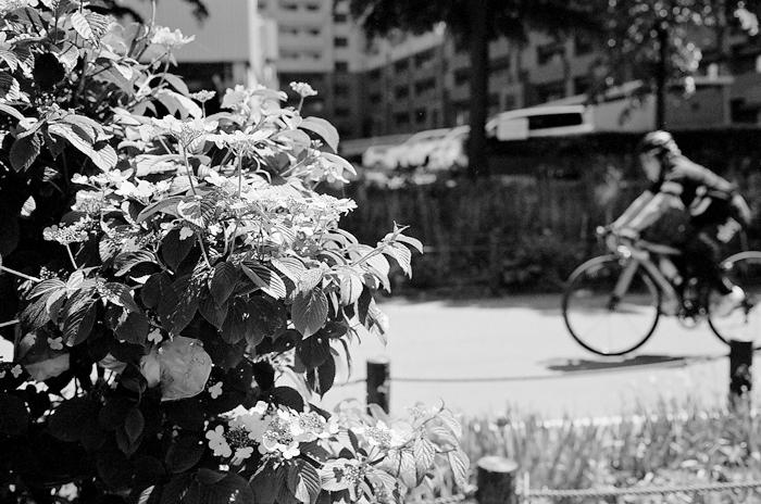 歯朶植物と白ライラックと紫陽花_c0182775_17173846.jpg