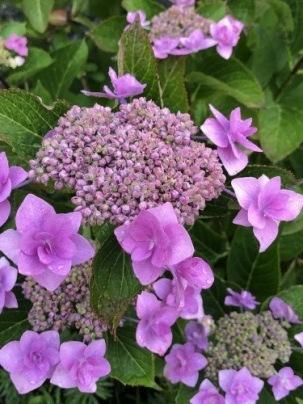 我が家の紫陽花&ツバメ巣立つ_a0346704_19534993.jpg