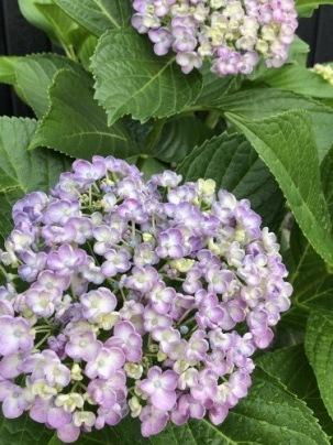 我が家の紫陽花&ツバメ巣立つ_a0346704_19540050.jpg