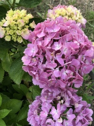 我が家の紫陽花&ツバメ巣立つ_a0346704_19542018.jpg