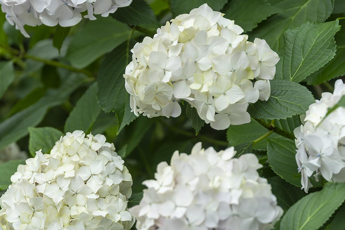 「紫陽花や 昨日の誠 今日の嘘」  東京Step2_4   6月 4日(木) 6933_b0069507_02231662.jpg