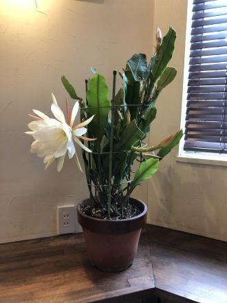 孔雀サボテンが咲きました。_a0187509_17410476.jpg
