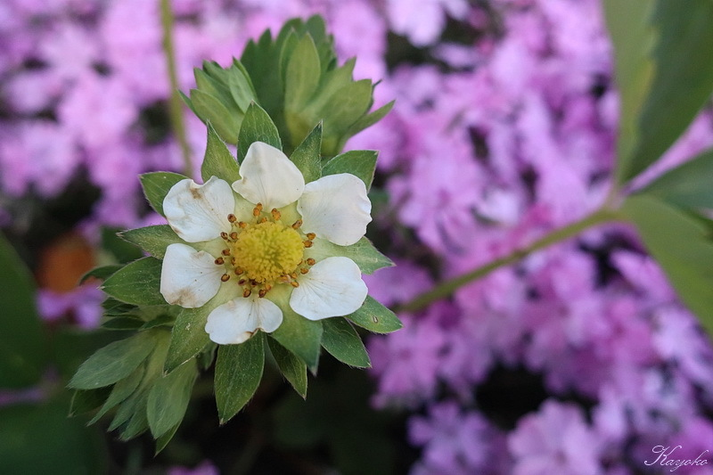 庭の花_a0353839_20295175.jpg