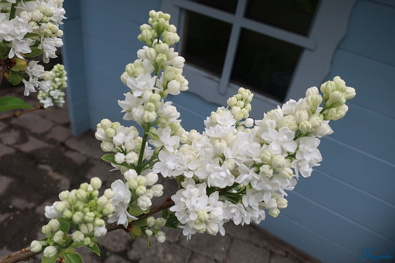 庭の花_a0353839_20310746.jpg