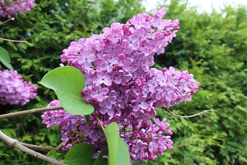庭の花_a0353839_20314752.jpg