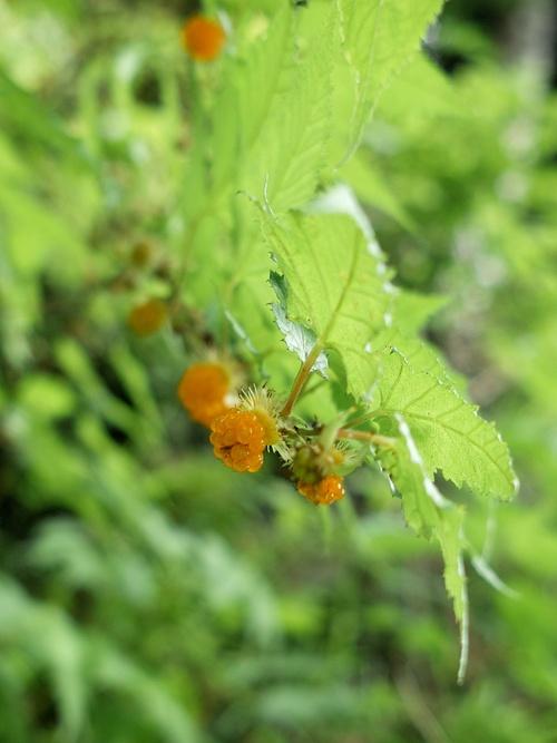 コロナ感染対策・・・キイチゴと天然カルガモ米づくり_d0005250_1754891.jpg