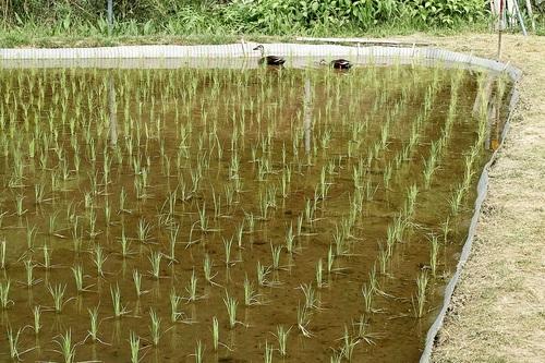 コロナ感染対策・・・キイチゴと天然カルガモ米づくり_d0005250_17584598.jpg