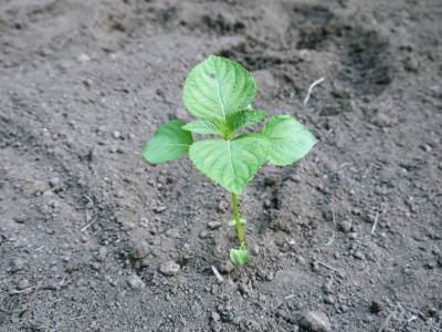 菊池水源産エゴマ 令和2年の栽培スタート 良い苗を育てるための選び抜く播種作業 今年も無農薬栽培です_a0254656_18574239.jpg
