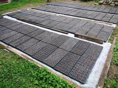 菊池水源産エゴマ 令和2年の栽培スタート 良い苗を育てるための選び抜く播種作業 今年も無農薬栽培です_a0254656_19301549.jpg