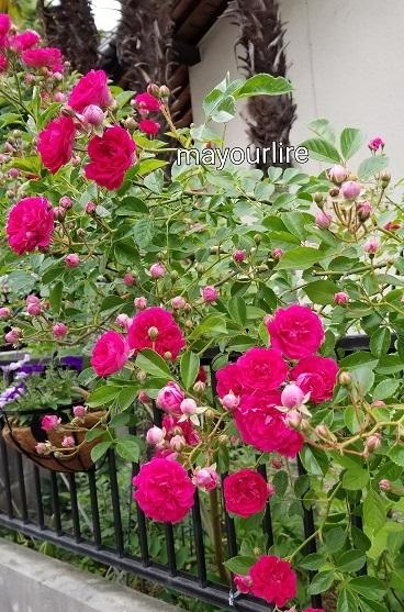 庭の花たち_d0169179_00050951.jpg