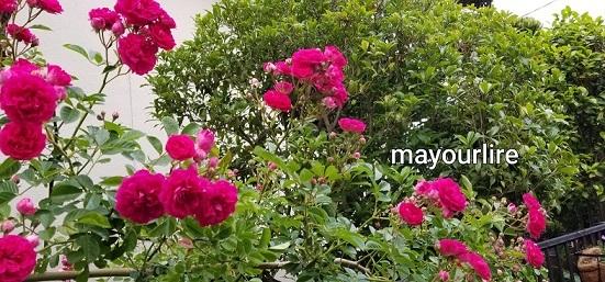 庭の花たち_d0169179_00060248.jpg