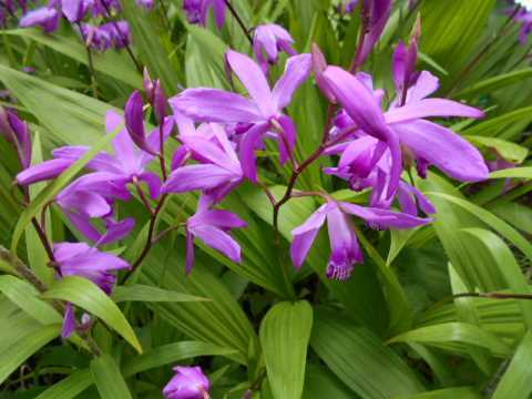 庭の紫蘭が見ごろ_f0019498_10590275.jpg
