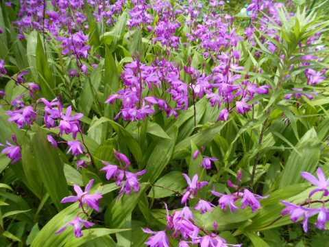 庭の紫蘭が見ごろ_f0019498_10592598.jpg