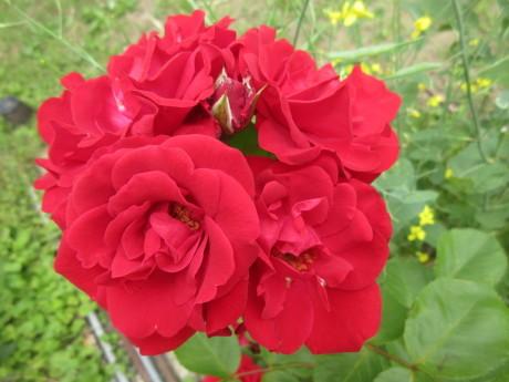 ひと月遅れで菖蒲湯・花たちなど_a0203003_10462966.jpg
