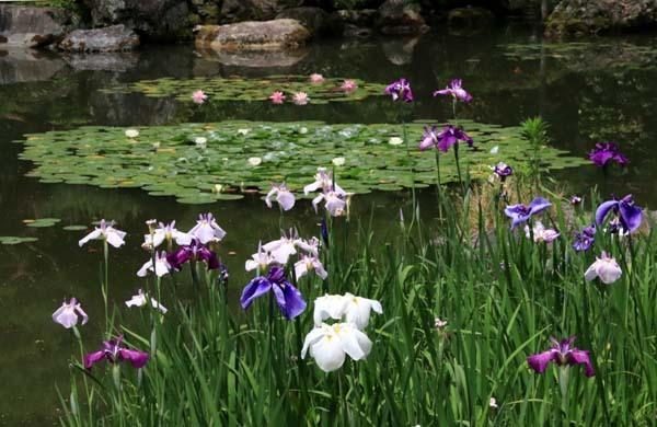 平安神宮 神苑の花菖蒲など_e0048413_20260815.jpg