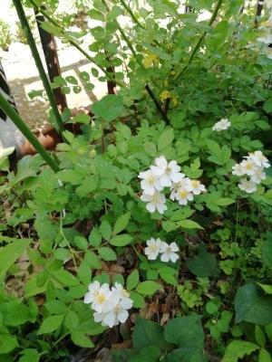 野バラが咲いた_c0289116_13320857.jpg