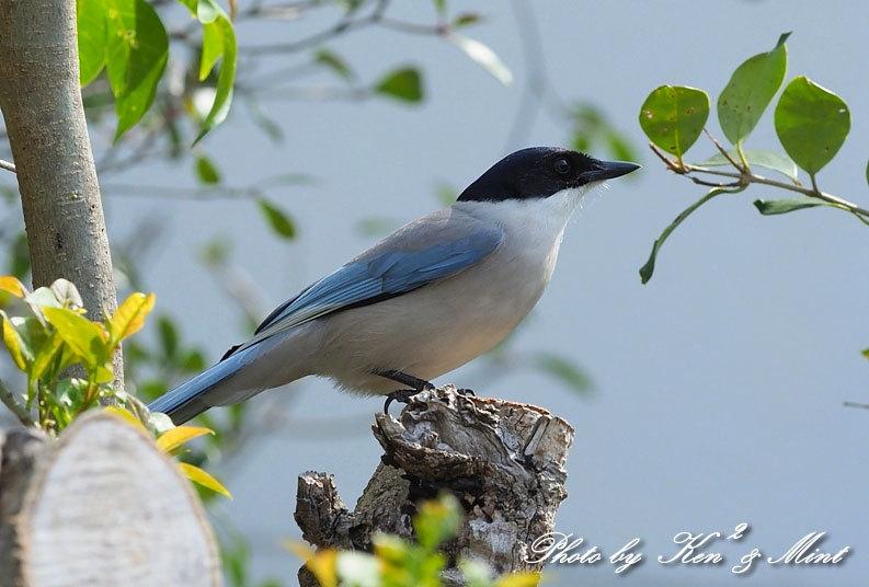 自宅で鳥撮り♪「オナガ」さん♪_e0218518_15282627.jpg