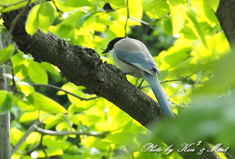 自宅で鳥撮り♪「オナガ」さん♪_e0218518_15284280.jpg
