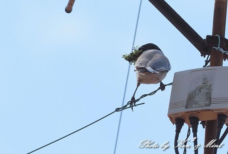 自宅で鳥撮り♪「オナガ」さん♪_e0218518_15285955.jpg