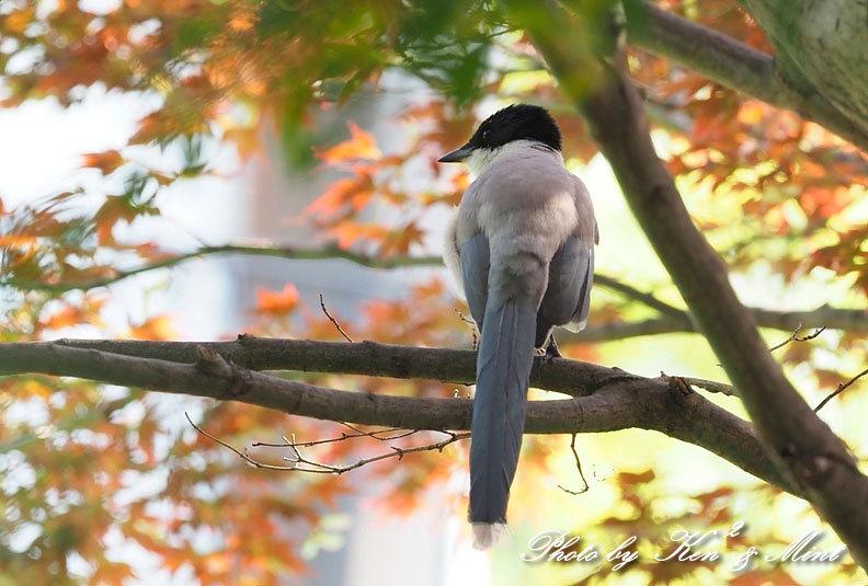 自宅で鳥撮り♪「オナガ」さん♪_e0218518_15292142.jpg