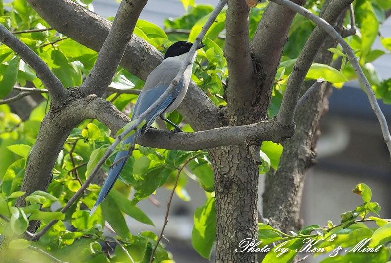 自宅で鳥撮り♪「オナガ」さん♪_e0218518_15294209.jpg