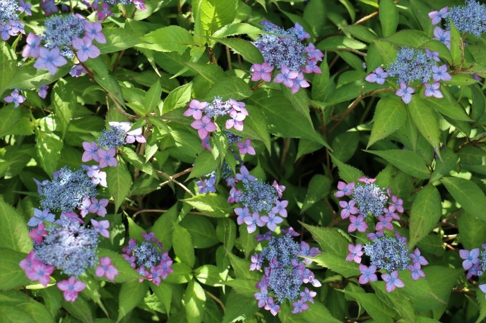 紫陽花を撮って_d0150720_16562877.jpg