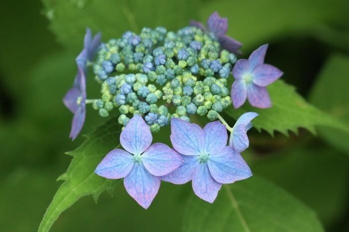 紫陽花を撮って_d0150720_17063150.jpg