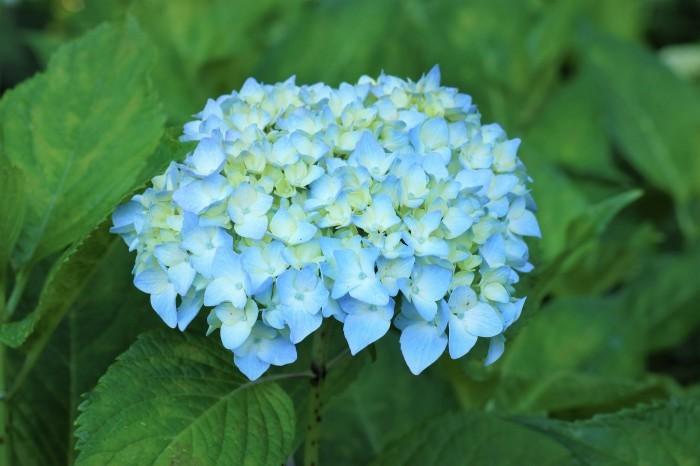 紫陽花を撮って_d0150720_17075042.jpg